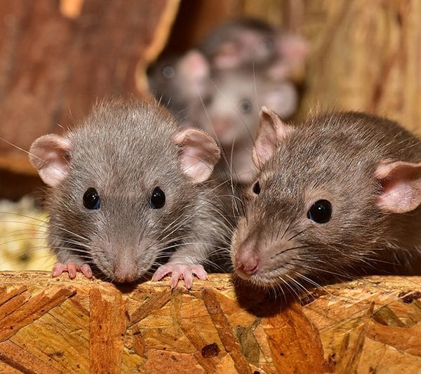 Family of mice in my wall